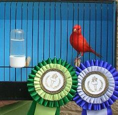 Common Canary Breeding Problems, Concerns and Care
