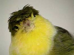 The History of the Crested Canary