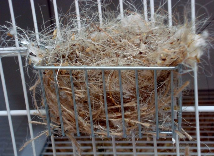 Preparing For Canary Breeding Season