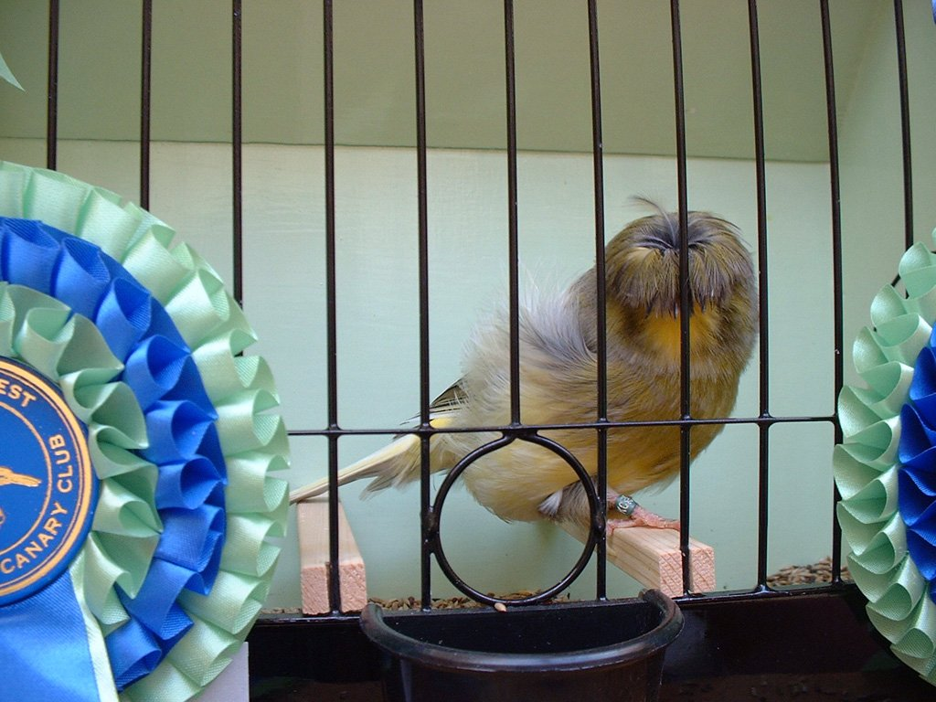 crested-canary-champion