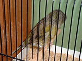 crested-canary-feeding-general-management