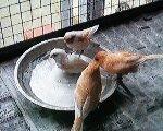 canary cage bath