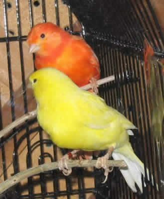 Color Bred Canary