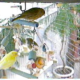 What Can I Feed My Canary