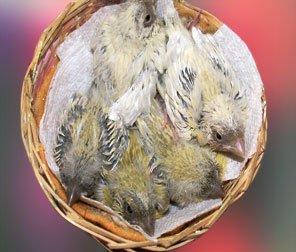 breeding canaries in an aviary