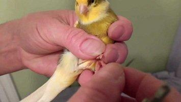 Bird-Leg-injuries - crestedcanary.com