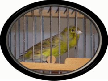 Handicap-Canary-Story crestedcanary.com